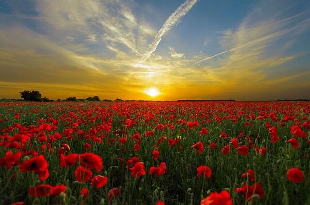 Sunset over Flower Field